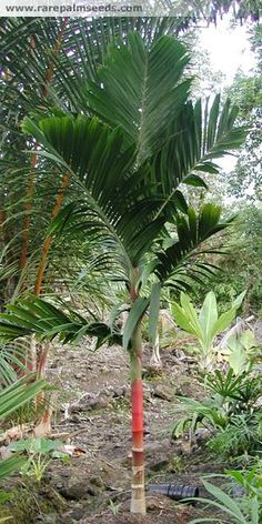 Dwarf Betel Nut Palm or Highland Betel Nut Palm (Areca macrocalyx)