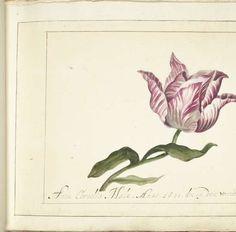 Tulp, Anna Cornelia Moda, 1677 - tulp-Verzameld werk van Marlene - Alle Rijksstudio's - Rijksstudio - Rijksmuseum