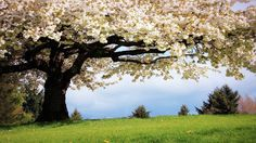 Sping Tag - Spring Tree Cherry Flowers Nature Big Grass Sping Springtime Bloom Green Season Wallpaper