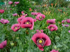 Love this color of Poppies. Poppies Monet's garden at Giverny