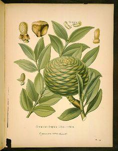 Araucariaceae (araucaria family)