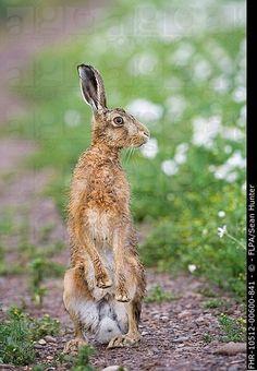 European Hare Lepus europaeus adult, alert, standing on hind legs, on track in farmland, County Durham, England, june
