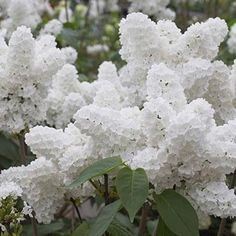 Details about White Syringa Lilac Seed Outdoor Bonsai Plant Grove Shrub Garden Supplies 50 Pcs - Landscaping Plants & Gardening - Japanese Lilac, Japanese Tree, White Flowers, Beautiful Flowers, Fall Flowers, Beautiful Gorgeous, White Lilac Tree, Purple Flowers, Single Flowers