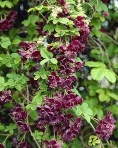 Akebia Quinata (chocolate vine) Very pretty climber, this has beautiful maroon-chocolate flowers which have an exotic spicy fragrance with a hint of vanilla, and appear in spring. This unusual semi-evergreen climber is excellent for training against walls or up a pergol,with summer fruits and purple tinged leaves in winter. zone 4-8