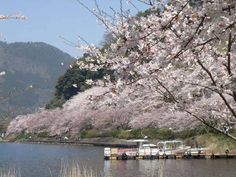 #japan #cherryblossoms #kansai #shiga 梅津大崎