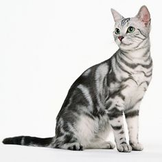 American Shorthair Cat - http://catbreedsinformation.com/american-shorthair-cat/ The American Shorthair Cat, originally from United States, is a medium sized, short coated cat breed that has become quite popular among cat fans around the world.Some people may refer to this cat breed as a  Domestic Shorthair because some cats are known by different names.The American Shorthair Cats are said to have quite the personality. Their owners have said that they are often festive, cur