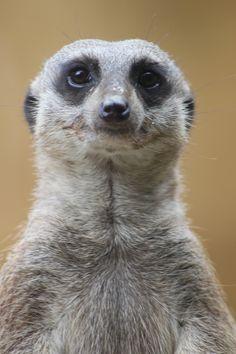 i love Meerkat
