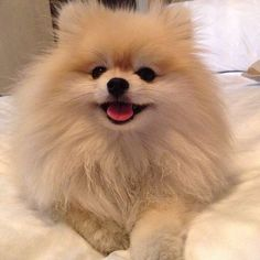Pomeranian i need one in my life NOW #Pomeranian