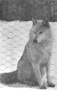 Do you remember the Lobo Wolves of Kane, PA?