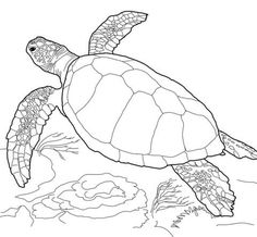 Loggerhead Sea Turtle coloring page from Turtles category. Select from 24848 printable crafts of cartoons, nature, animals, Bible and many more.