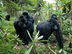 gorillas with babies | in order to claim a family in the late 1980s karateka lost part of a ...