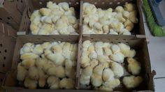 Kurczaki w biedronce