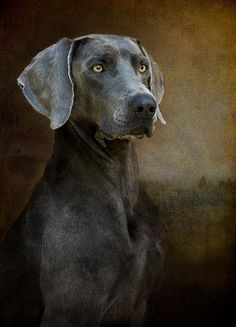 Weimaraner Photo credit leslienicole.com Clicking on the picture brings you to spam, not her web site. Go there directly.
