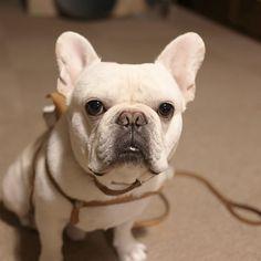 まだなんすかね。。? #フレブル #フレンチブルドッグ #buhi #ブヒ #frenchbull #frenchbulldog