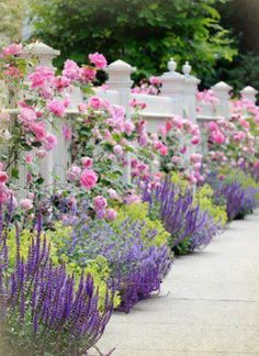 Flowers and garden ideas: pink climbing roses cascading over a white slatted bog . Flowers and garden ideas: pink climbing roses falling over a white picket fence.