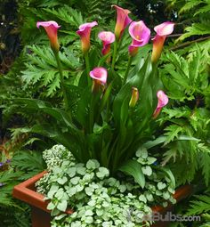 Get tips on Calla Lily care. Find the best way to grow Calla Lilies, including planting, watering, lighting and fertilization information. Canna Lily, Container Plants, Container Gardening, Gardening Tips, Love Flowers, Beautiful Flowers, Lily Care, Growing Ginger, Pond Plants