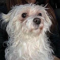Newport, Kentucky - Maltese. Meet Marvin, a for adoption. https://www.adoptapet.com/pet/20366599-newport-kentucky-maltese