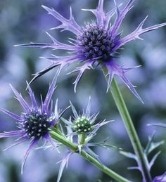 Eryngium bourgatii is one of the blue-est of the beautiful sea hollies, with delicate whorls of spikes around the central central egg. Bees and butterflies love these.