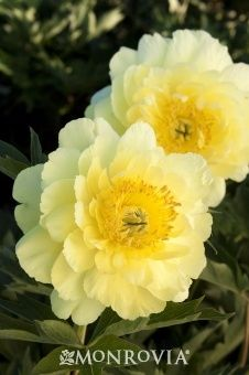 must grow peonies