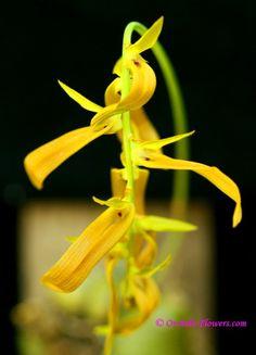 Miniature Orchid Bulbophyllum wallichii