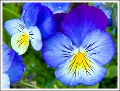 Carol's View Of New England: Pretty Pansies