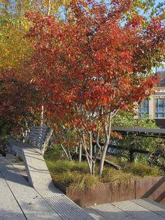 multi stemmed small trees | Fabulous multi stemmed trees - Amelanchier, amazing autumn colour.