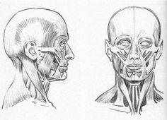 anatomia-de-la-cabeza