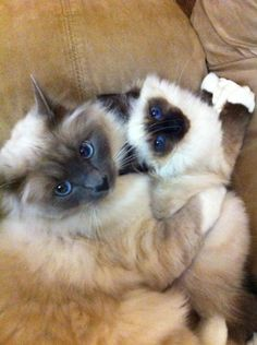 #birman #cats #kittens #catbreed