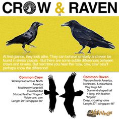 Crows Ravens:  #Crow & #Raven: How To Tell Them Apart.