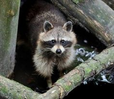 Raccoon hiding in a falling tree at Cades Cove Animals And Pets, Baby Animals, Cute Animals, Wild Animals, Chalets In Gatlinburg, Raccoon Removal, Baby Raccoon, Cades Cove, Cute Eyes