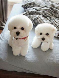 Bichons or puff heads. So cute. More