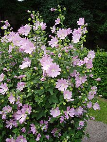 not successful in big bed (planted too late) Lavatera thuringiaca