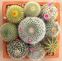 12 Reasons to Love Cactus from succulent author Debra Lee Baldwin Succulents In Containers, Cacti And Succulents, Container Plants, Planting Succulents, Cactus Plants, Container Gardening, Planting Flowers, Kinds Of Cactus, Cactus Types