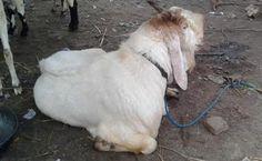 Buy Goats