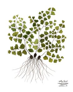 Print: Maidenhair Fern Medium: archival giclee reproduction print, open edition Paper type: 100% cotton rag paper Size: 11 x 8.5 inches, 28 x 21cm,