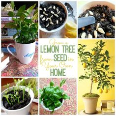 Grow a Lemon Tree from Seed in Your Own Home These miniature citrus trees can deliver a big dose of cheer to any sunny space. And it's practically foolproof. I planted seeds this April, enjoyed watchi Water Plants, Garden Plants, Indoor Plants, Greenhouse Plants, Tree Garden, Organic Gardening, Gardening Tips, Organic Fertilizer, Kitchen Gardening