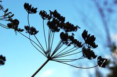 Foeniculi fructus (seed) Foeniculum Vulgare, Utility Pole, Dandelion, Seeds, Flowers, Plants, Dandelions, Florals, Plant