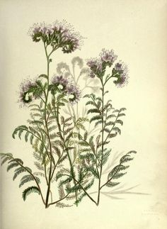 Wild Heliotrope. Plate from Wild Flowers of the Pacific Coast - from original water colour sketches drawn from nature by Emma Homan Thayer. Published 1887