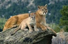 Further symbolic Mountain Lion meaning, symbolism and totem energy teaches us about having the patience to develop our personal power and vision...