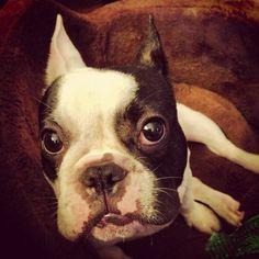 Frankie - French Bulldog