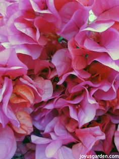 Bougainvillea is a very vigorous grower and is most commonly thought of as a large scale vine but there are other forms it is grown in and sold as.