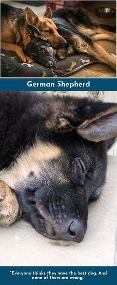 Read about German Shepherds Please click here to learn more #germanshepherd