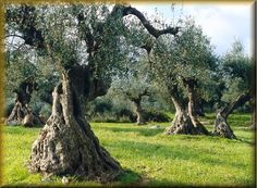 Σχετική εικόνα Olive Tree, Plants, Image, Olive Oil, Trees, Gardening, Woodland Forest, Tree Structure, Lawn And Garden