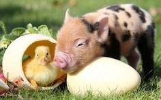 Pet Pigs, Baby Pigs, Cute Little Animals, Little Pigs, Animals And Pets, Funny Animals, Farm Animals, Miniature Pigs, Cute Piglets