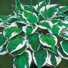 One of the most popular white margined hostas, Minuteman has deep green leaves with wide pure white margins. Beautiful lavender flowers are produced in early to mid-summer. Outdoor Plants, Garden Plants, Hosta Plants For Sale, Best Perennials For Shade, Green Leaves, Plant Leaves, Plants Online, Lavender Flowers, Shades