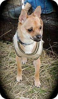 Joplin, MO - Chihuahua. Meet LOUIE a Puppy for Adoption.