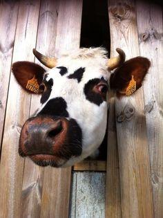 Une superbe Vache Normande de la Ferme de la Tuilerie à quelques minutes du Domaine du Martinaa ! Cette jolie dame avait envie de voir dehors si l'herbe des près était bien verte !!! Superbe photo .. Merci mademoiselle la Vache !!!  Bises du Martinaa !! Jiss from Normandy !! Valérie ! 33(0)231 322 480 ou www.martinaa.fr