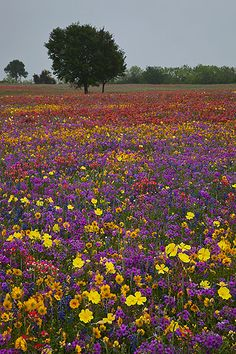"""""""Confetti""""    Guadalupe County, Texas    A multitude of multi-colored wildflowers litter a country pasture."""
