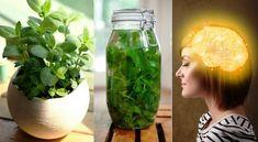 13 Reasons Everyone Should Start Growing Lemon Balm - - - - - - - - - - - - - - - - - - - - - - - - - - - - - - - - - - - - - - - - - - - - - - - - - - - - -. Growing Lemon Balm, Jaba, Natural Cures, How To Stay Healthy, Smoothies, Mason Jars, The Cure, Glass Vase, Beauty Hacks