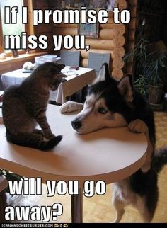 Animals: Siberian Husky and Cat Animals And Pets, Funny Animals, Cute Animals, Funny Dogs, Funny Husky, I Love Cats, Cute Cats, Animal Pictures, Funny Pictures